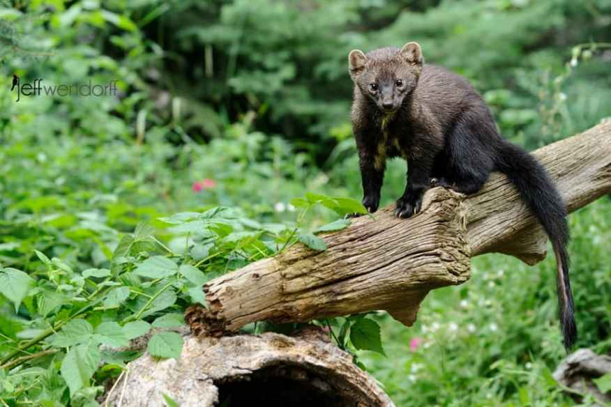Fisher cat checking out the photographer photographed by Jeff Wendorff