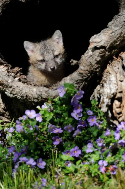 Grey Fox kit looking out of a log photographed by Jeff Wendorff