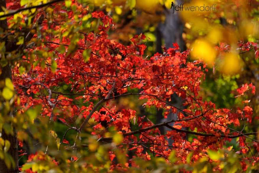Glowing Red - Vermont Fall Foliage photographed by Jeff Wendorff