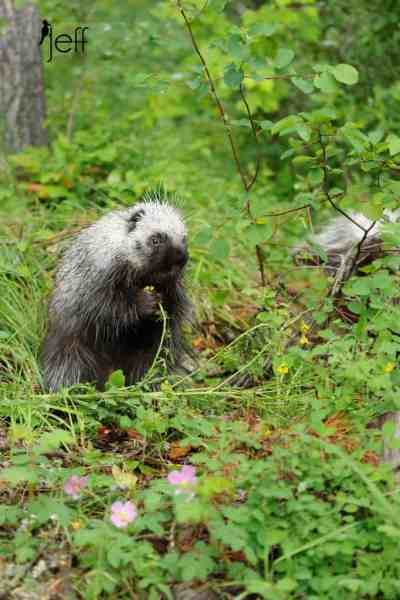Porcupine Photos
