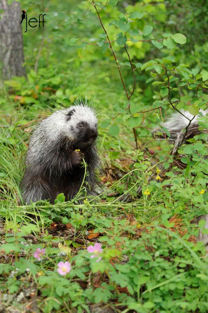 Porcupine Photos