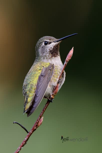 Female Anna's Hummingbird posing on a branch perch photographed by Jeff Wendorff