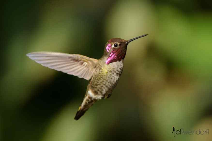 Male Female Anna's Hummingbird in flight approaching the feeder photographed bY Jeff Wendorff