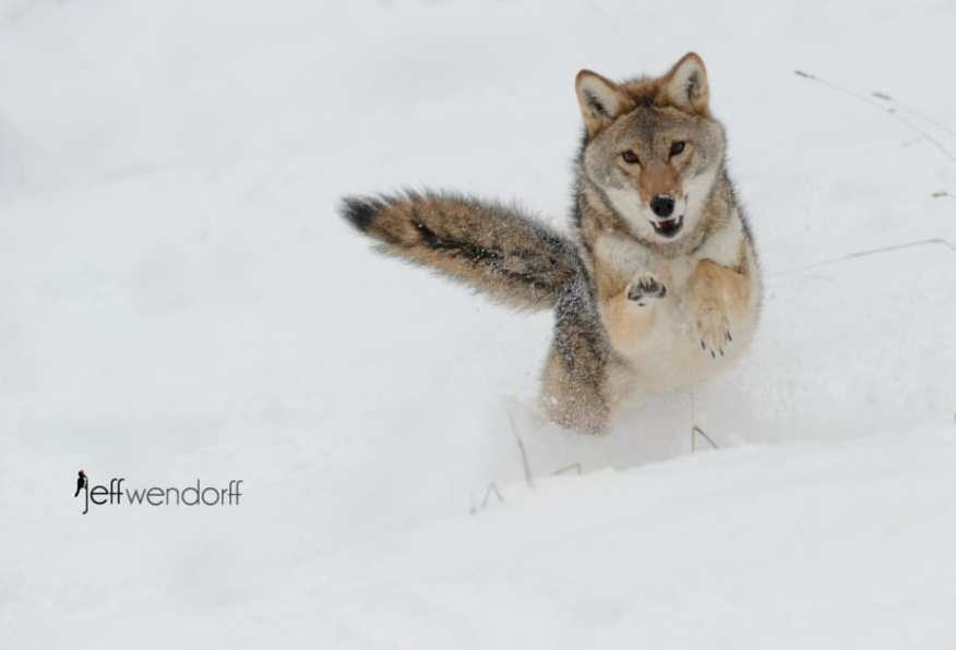 A coyote leaping in the snow