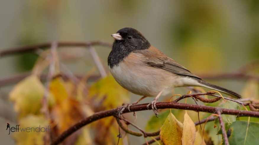 Dark-eyed Junco in fall foliage photographed by Jeff Wendorff