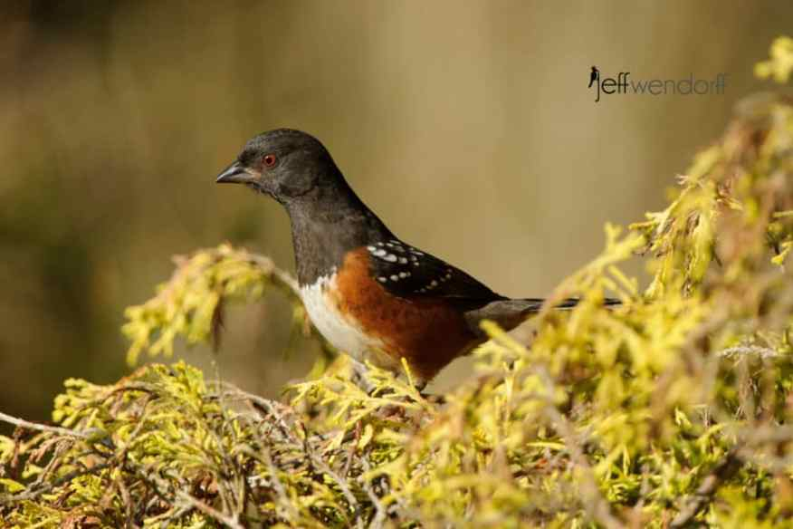 Spotted Towhee hunting for food on a colorful bush photographed by Jeff Wendorff