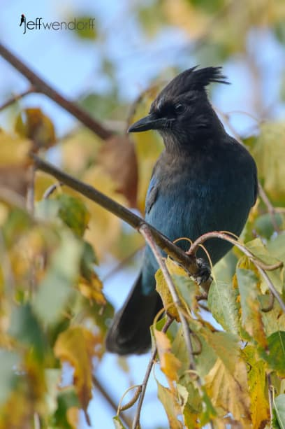 Steller's Jay in fall colors photographed by Jeff Wendorff