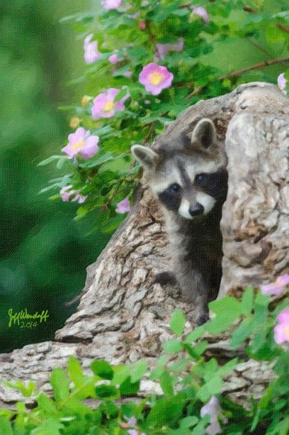 a painting of a baby raccoon looing out of a log created by Jeff Wendorff from his photograph