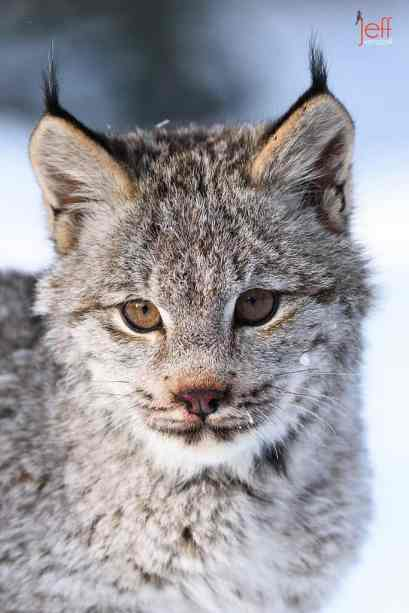 Canada Lynx Portrait photographed by Jeff Wendorff