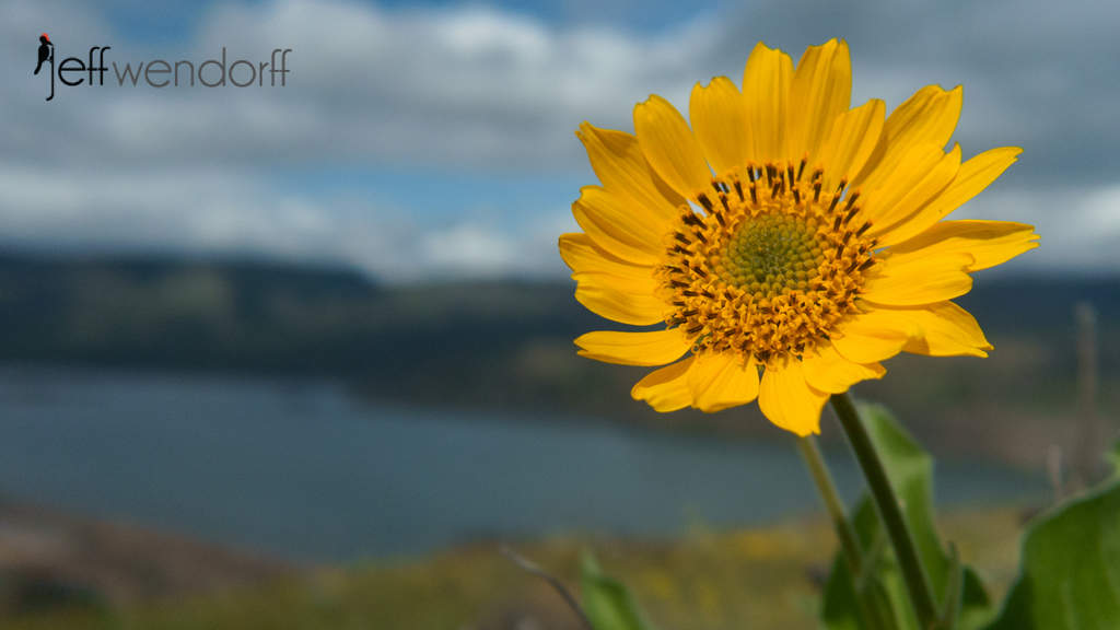 Oregon Wildflowers – Rowena Plateau