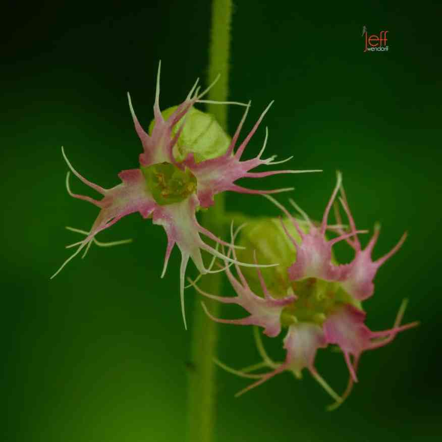 A pink Fragrant Fringecup, Tellima grandiflora photographed by Jeff Wendorff at Cap Horn WA