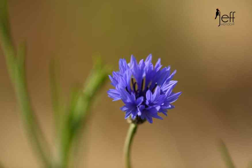 Bachelor's Button, Centaurea cyanus photographed by Jeff Wendorff at Catherine's Creek