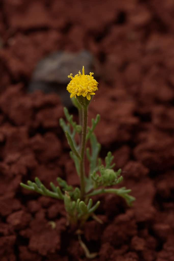 John Day's Pincushion, Chaenactis nevii at the Painted Hills photographed by Jeff Wendorff