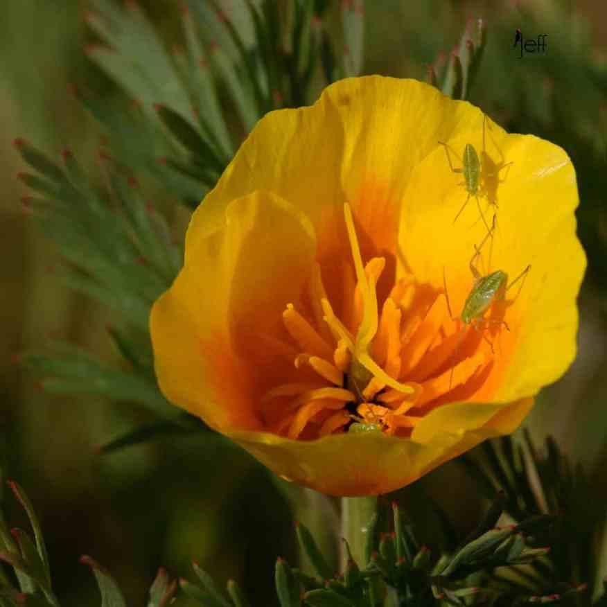 California Poppy, Eschscholzia californica photographed by Jeff Wendorff