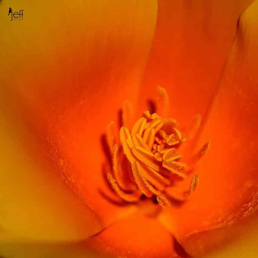Interior detial California Poppy, Eschscholzia californica photographed by Jeff Wendorff