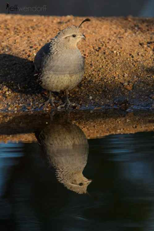 Female Gambel's Quail reflection in a pond by Jeff Wendorff