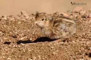 2 day old Gambel's Quail chick photographed by Jeff Wendorff during Birds and Bats workshop
