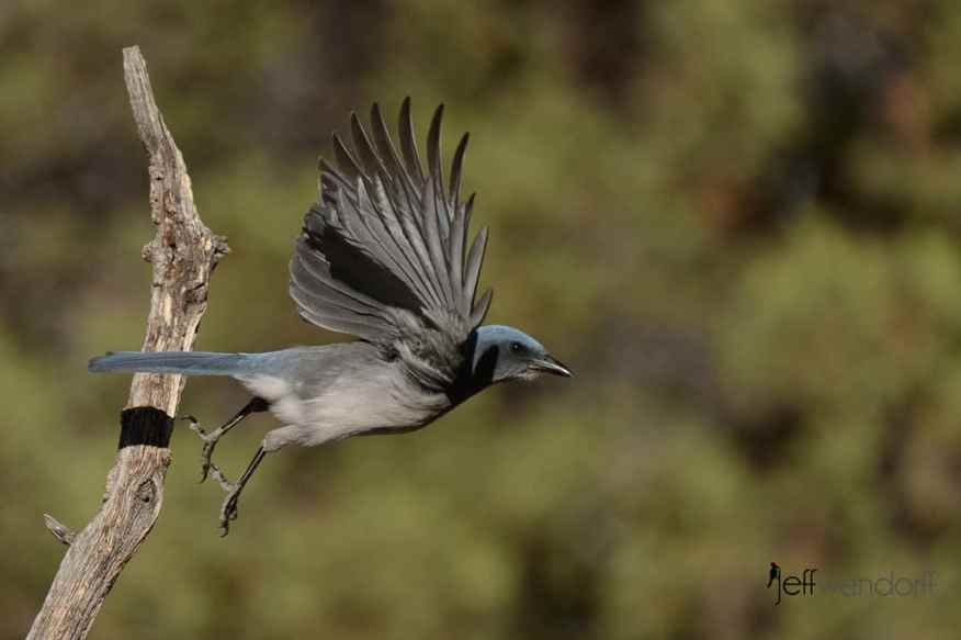 Mexican Jay taking flight photo by Jeff Wendorff