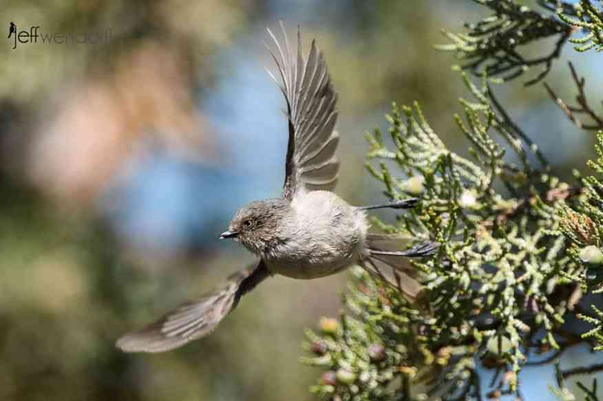 Smith Rock bird photography is good, like this American Bushtit taking flight by Jeff Wendorff