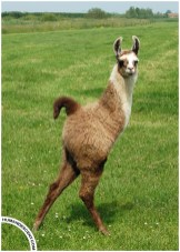Leo_the_two_legged_Llama_by_HumanDescent
