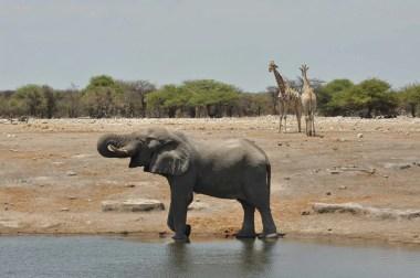 Eléphant assoiffé à Etosha, Nambie