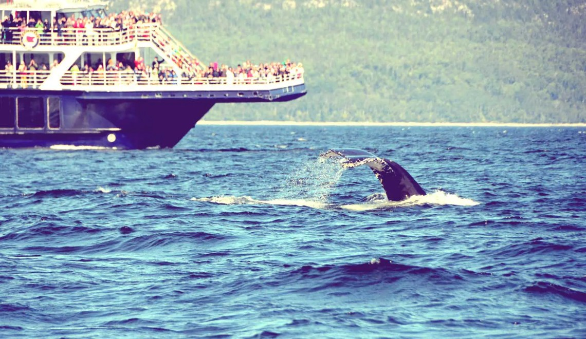 Baleine sur le Saint Laurent
