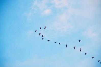 Ibis rouges aux marais de Kaw, Guyane