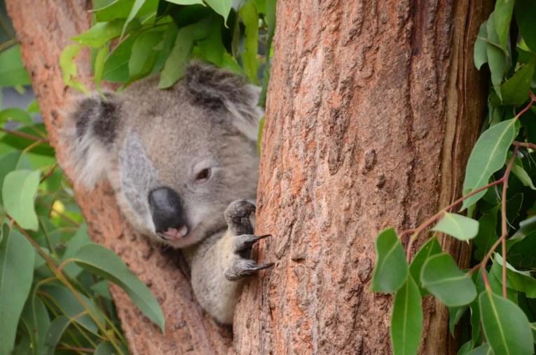 Koala issue d'un sauvetage au zoo de Sydney