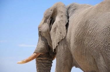 Dans l'oeil de l'éléphant Etosha Namibie