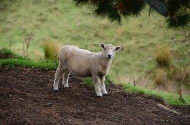 Agneau à Matamata Nouvelle Zélande