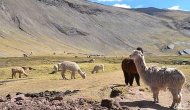 Lama à la Rainbow Mountain