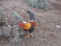 Friendly Rooster at the Ali'i Kula Lavender Farm