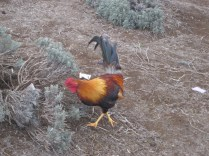 Friendly Rooster at the Ali'i Kula Lavender Farm