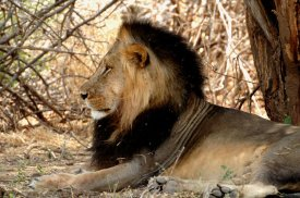 Hwange Lion Research Project 2