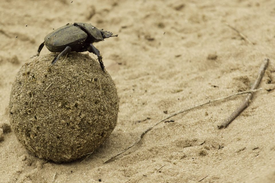 Wildlife Photography | Dung beetle