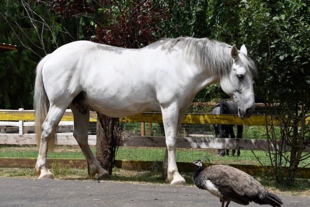 peacock, Jennifer pratt, mayday, corbett farm