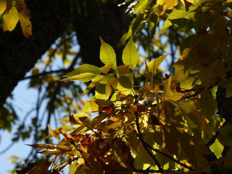 autumn beech tree leaves ©www.jenniferramirezbaulch.com