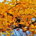 Autumn Fossil Ginkgo Biloba