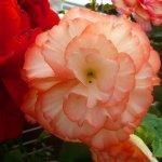 Tuberous Begonia Alyce