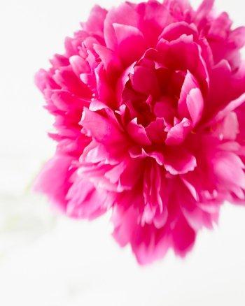 Flower Photography - Peony #16