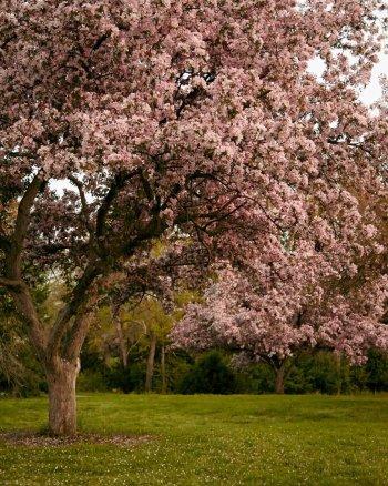 Pink Flower Tree Photography - Magic Garden
