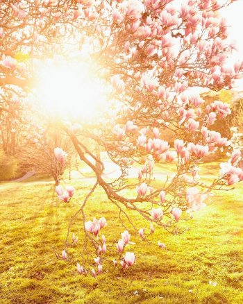 Spring Splendor - Magnolia Branch Photograph in sunshine