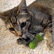 Cairo stole the catnip toy intended for another cat!