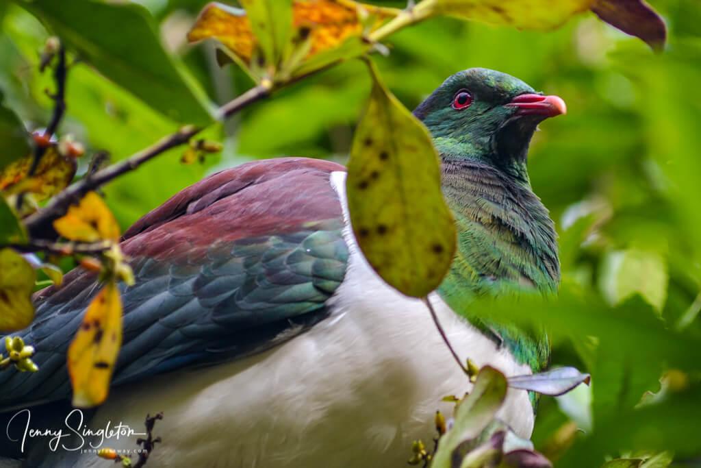 A colourful wood pigeon on the Coromandel Peninsula