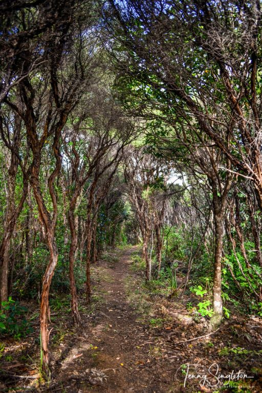 The path winds through spindly manuka trees on the Matamataharakeke Track.
