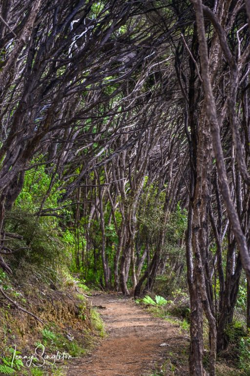 A path through manuka trees on a hike in New Zealand