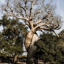 Baobab in love