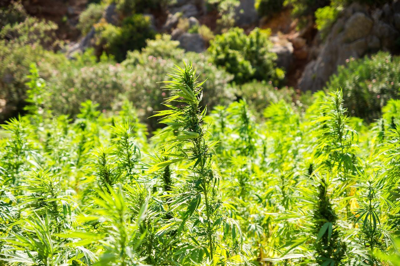 high-cbd hemp