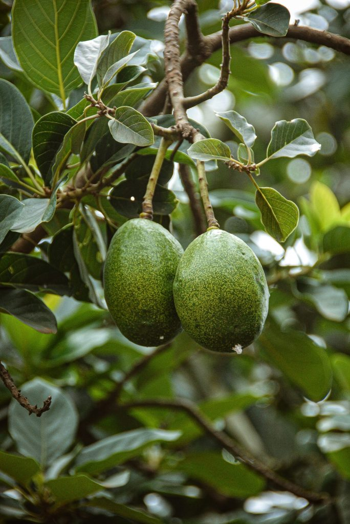 avocados hanging on a tree before they are picked