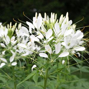 White Queen Cleome